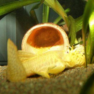 albiinopartamonni