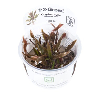 Cryptocoryne undulatus 'Red'