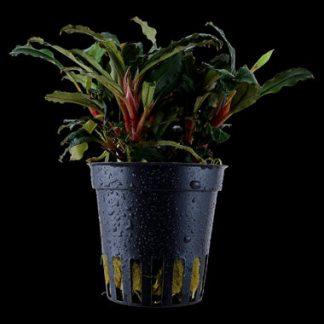 Bucephalandra sp. 'Punainen'
